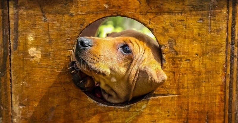 Cucciolo marrone sveglio che colpisce il suo fronte attraverso un foro immagine stock