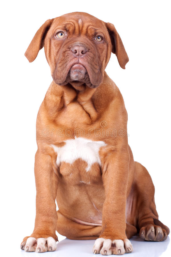 Cucciolo messo di Dogue de Bordeaux fotografie stock
