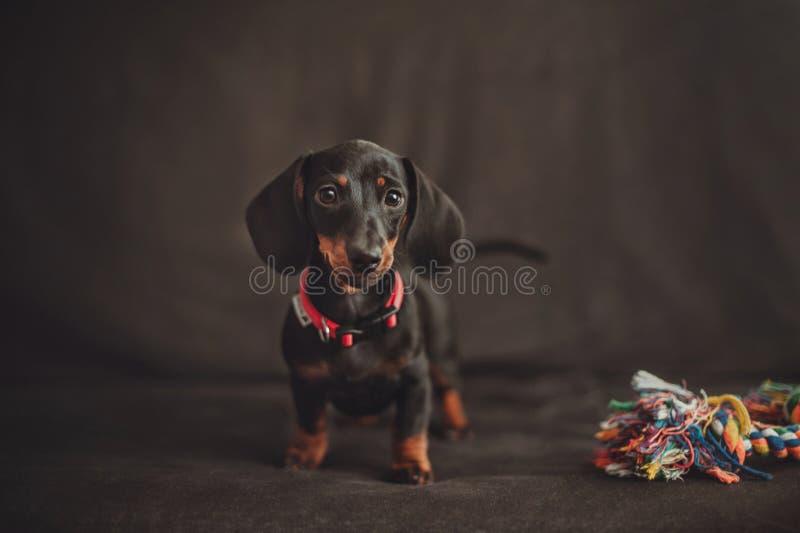 Cucciolo miniatura del bassotto tedesco con il giocattolo su fondo nero immagine stock