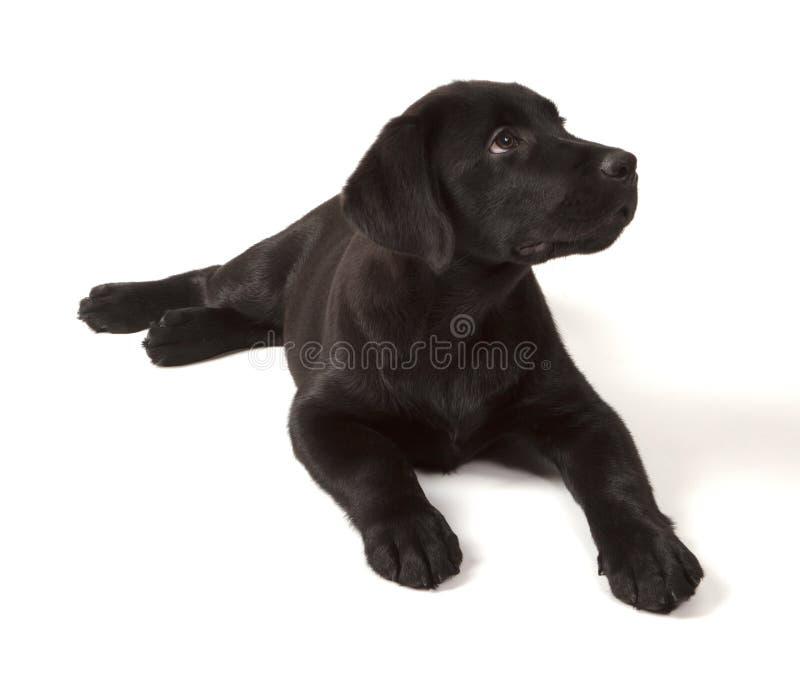 Cucciolo nero del documentalista di labrador immagine stock libera da diritti