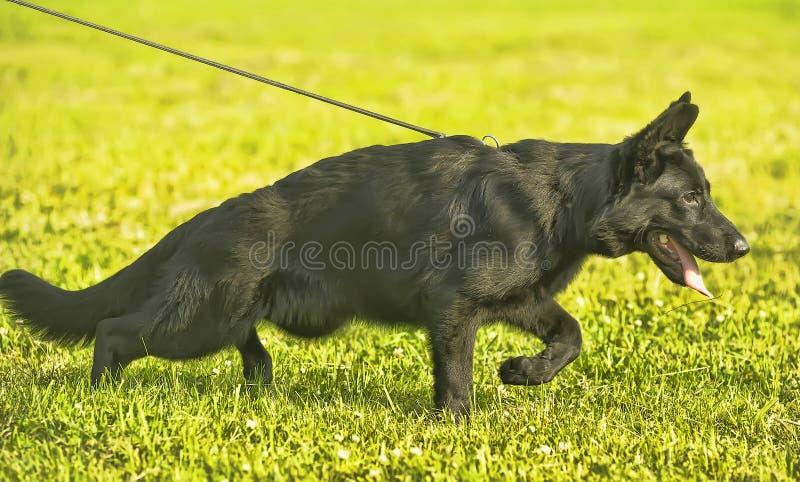 Cucciolo nero del pastore sul guinzaglio immagine stock