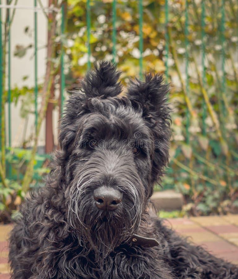 Cucciolo nero dello schnauzer fotografie stock libere da diritti