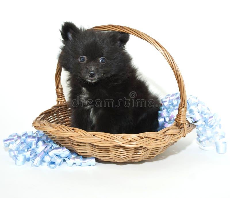 Cucciolo nero di Pomeranian immagini stock libere da diritti
