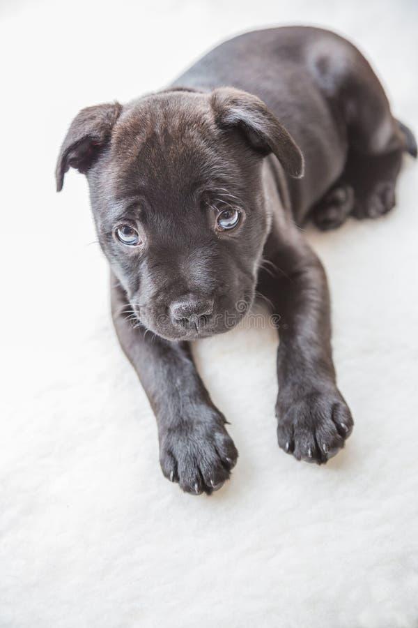 Cucciolo nero di Staffordshire bull terrier fotografie stock