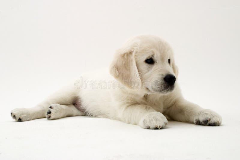 Cucciolo piacevole fotografia stock libera da diritti