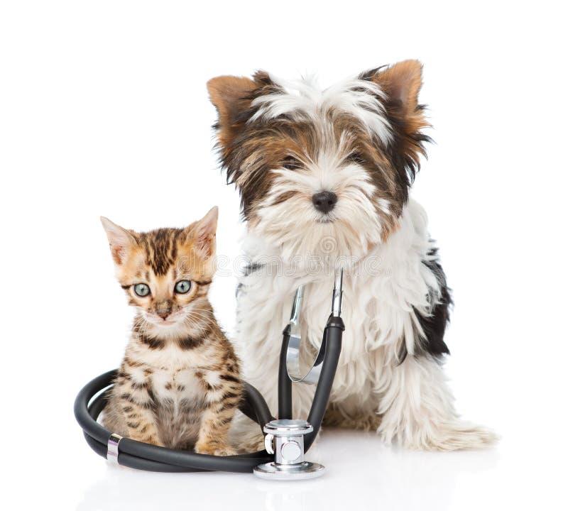 Cucciolo piccoli gatto del Bengala e terrier di Biewer-Yorkshire con lo stetoscopio Isolato su bianco fotografia stock