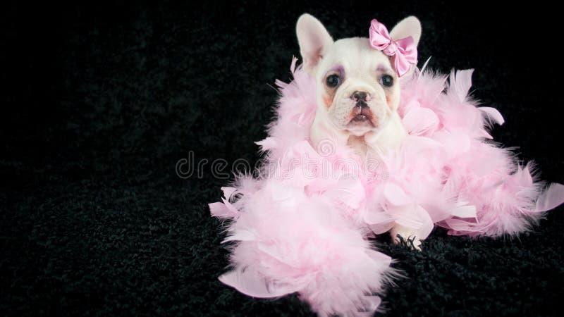 Cucciolo preparato del bulldog francese fotografia stock libera da diritti