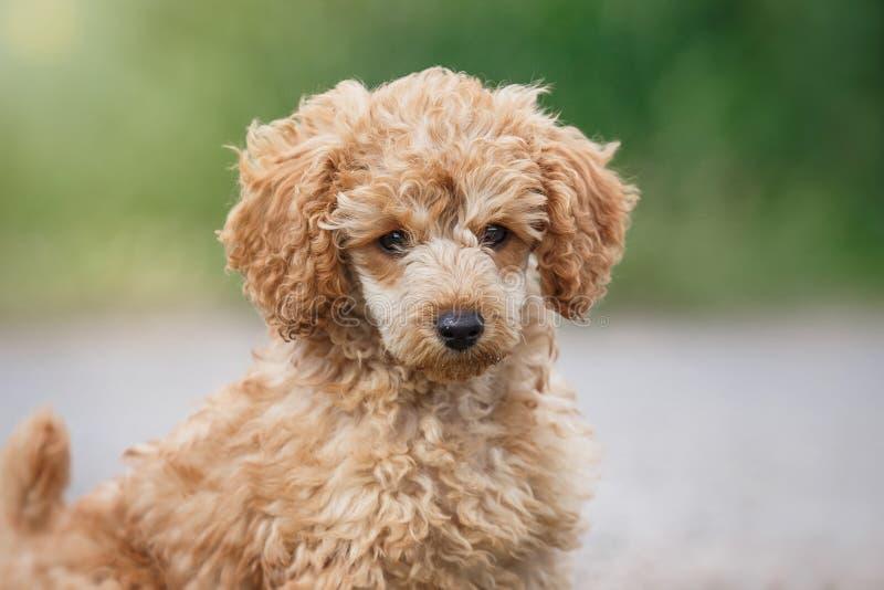 Cucciolo rosso del barboncino di giocattolo fotografia stock