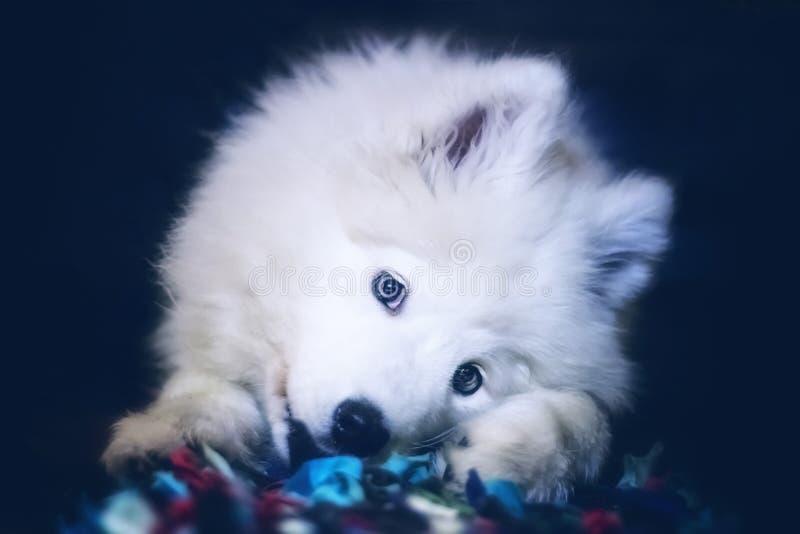 Cucciolo samoiedo del cane fotografia stock libera da diritti