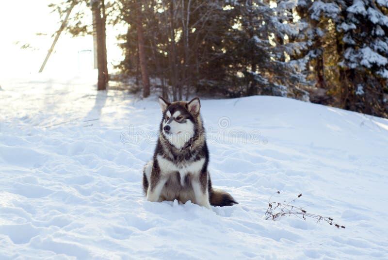 Cucciolo siberiano del husky fotografia stock