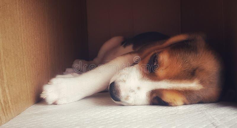 Cucciolo sonnolento fotografia stock