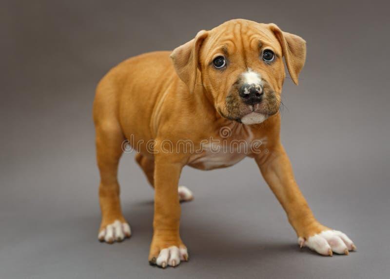 Cucciolo Staffordshire Terrier immagini stock