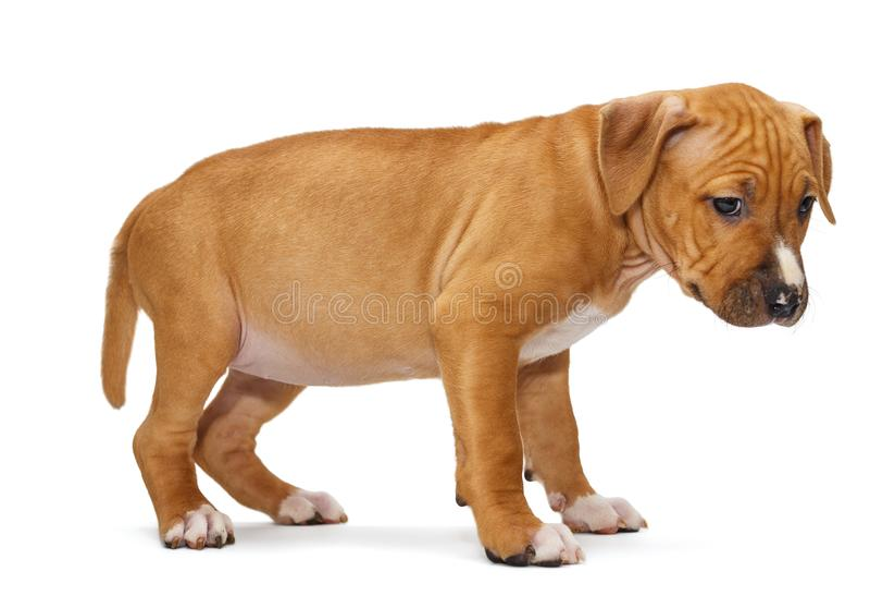 Cucciolo Staffordshire Terrier fotografia stock