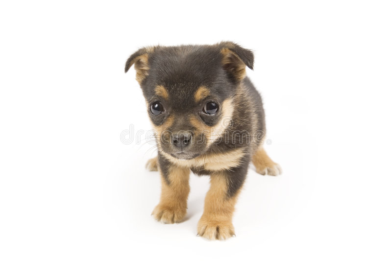 Download Cucciolo sveglio immagine stock. Immagine di cani, razza - 7307619
