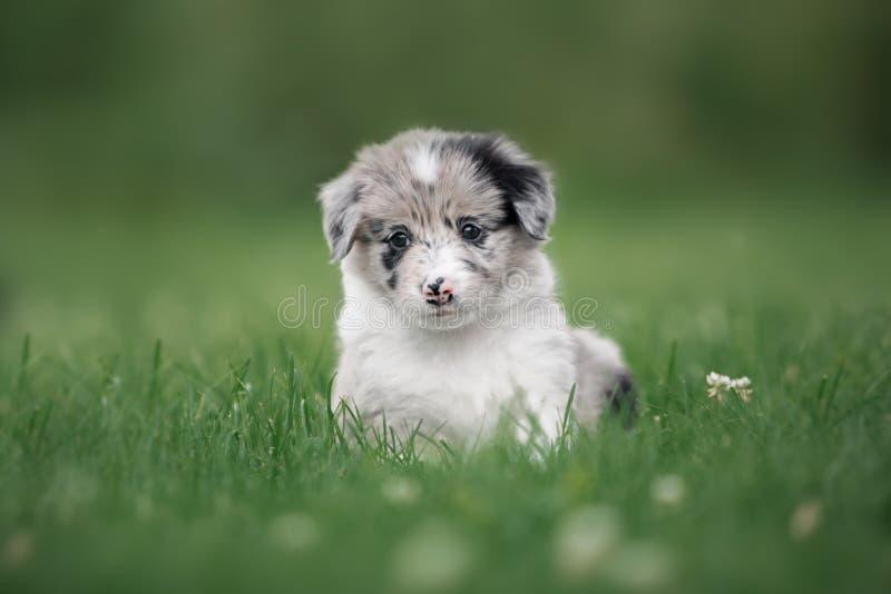 Cucciolo sveglio border collie che si siede pensively nell'erba immagine stock libera da diritti