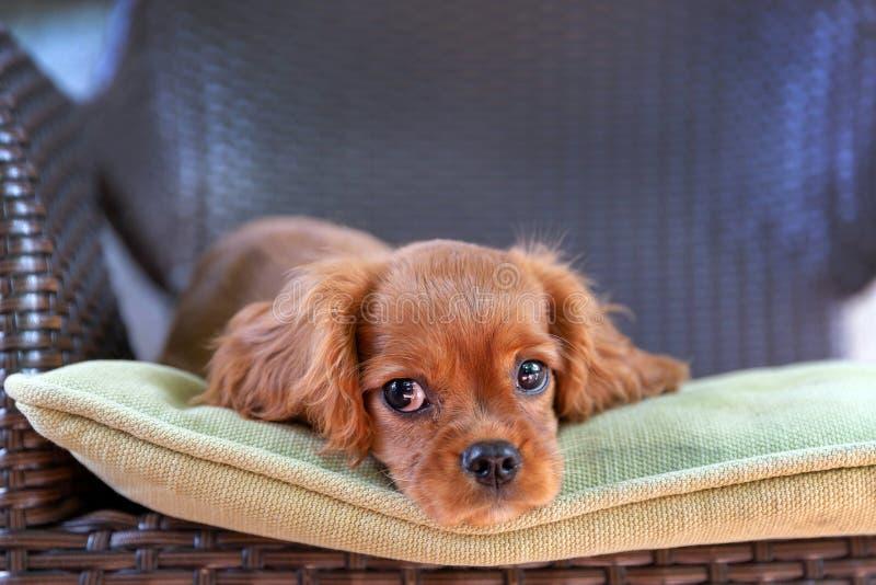 Cucciolo sveglio che si trova sulla sedia fotografie stock libere da diritti