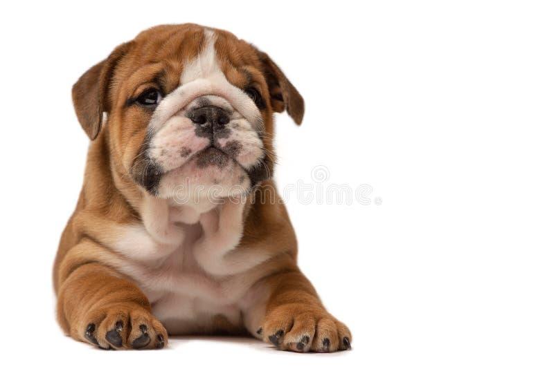 Cucciolo sveglio del bulldog inglese isolato su fondo bianco immagini stock libere da diritti