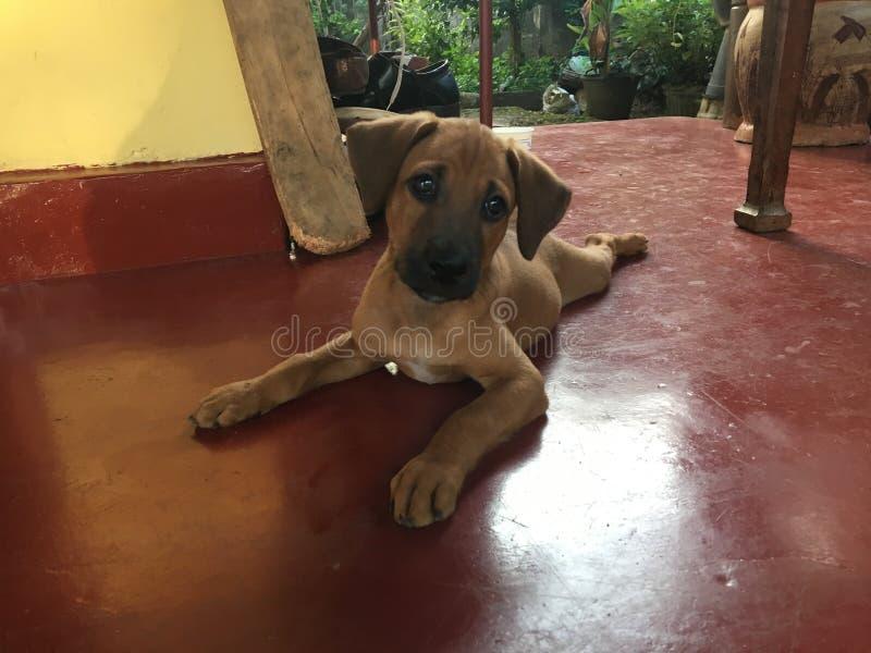 Cucciolo sveglio del cane sul pavimento rosso fotografia stock libera da diritti