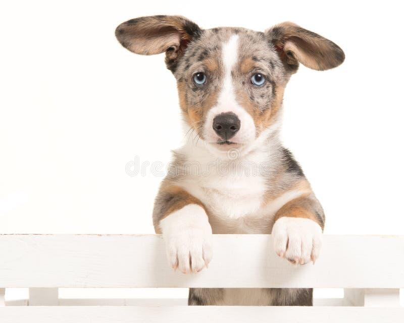 Cucciolo sveglio del corgi di lingua gallese che appende sopra una cassa bianca che affronta la macchina fotografica con gli occh immagine stock libera da diritti