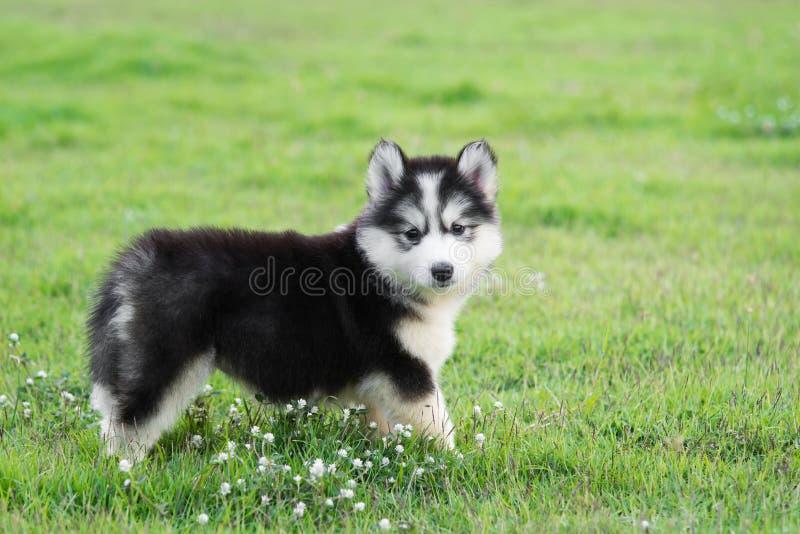 Cucciolo sveglio del husky siberiano fotografia stock libera da diritti