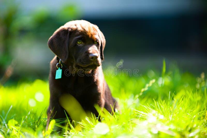 Cucciolo sveglio del labrador che si trova nel sole e nell'erba fotografia stock