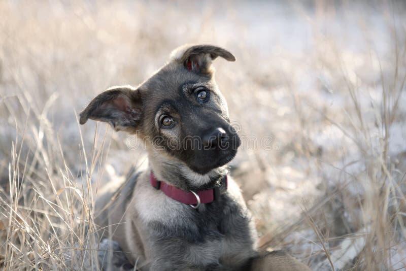 Cucciolo sveglio del pastore tedesco che si siede nell'erba. immagini stock libere da diritti
