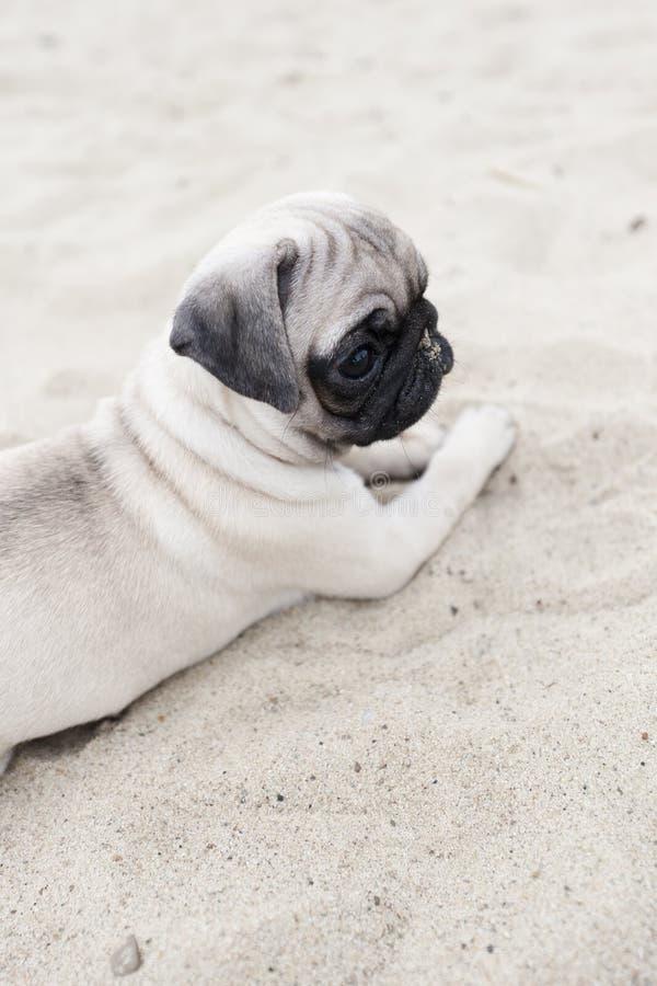 Cucciolo sveglio del pug sulla sabbia immagini stock libere da diritti