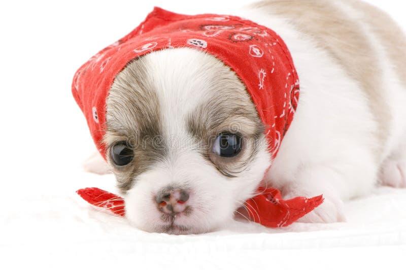 Cucciolo sveglio della chihuahua con il bandana rosso immagini stock