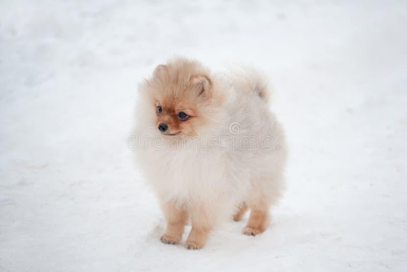 Cucciolo sveglio dello spiz di Pomeranian su neve immagini stock libere da diritti