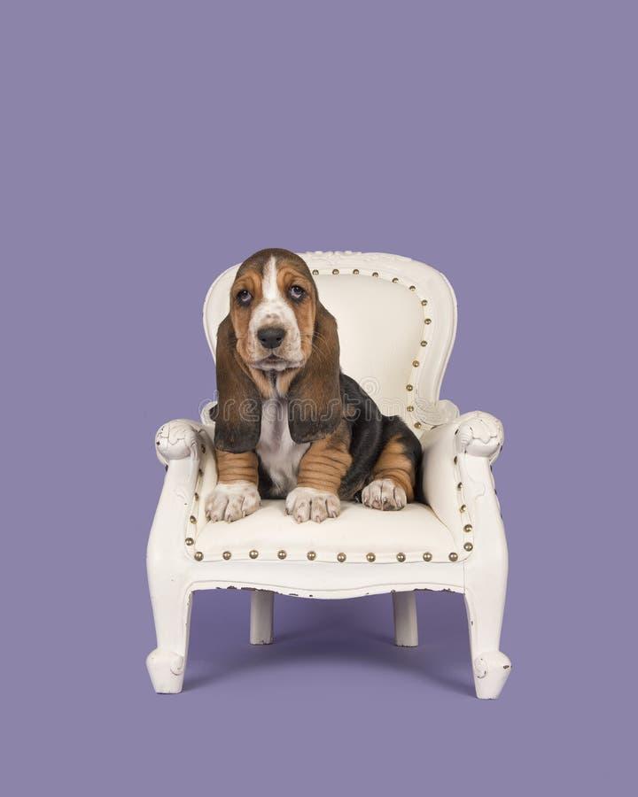 Cucciolo sveglio di basset hound su una sedia barrocco bianca su un lavander p fotografie stock