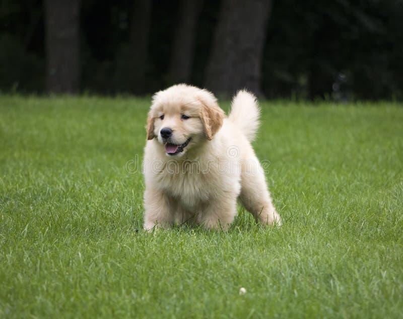 Cucciolo sveglio di golden retriever che gioca nell'erba immagine stock libera da diritti