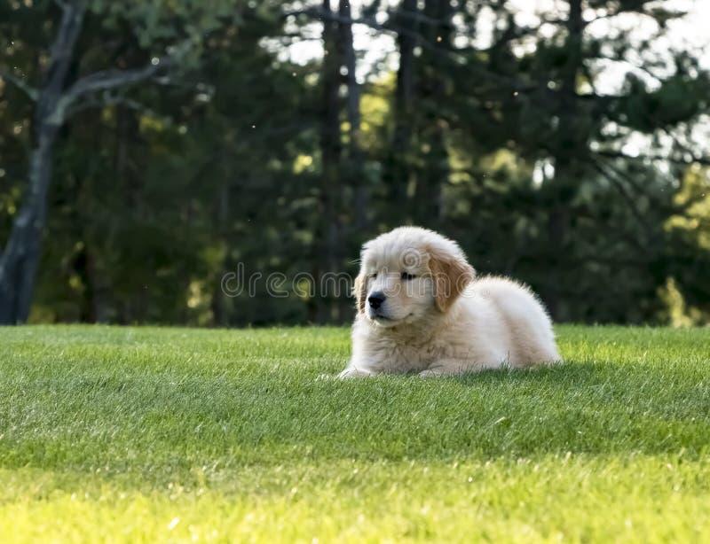 Cucciolo sveglio di golden retriever che risiede nell'erba fotografie stock