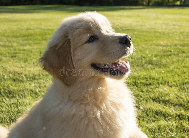 Cucciolo sveglio di golden retriever che sorride fuori fotografia stock libera da diritti