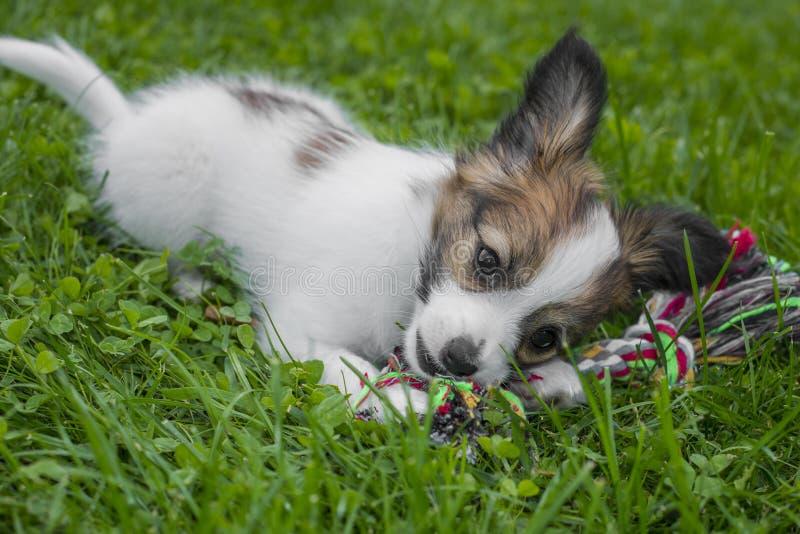 Cucciolo sveglio di Papillon fotografia stock
