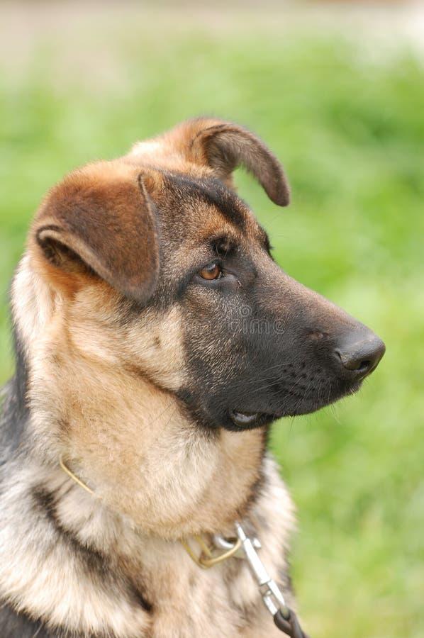 Cucciolo tedesco del cane da pastore fotografia stock libera da diritti