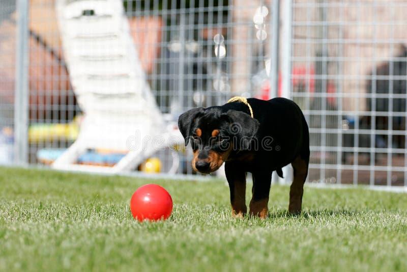 Cucciolo tedesco del pincher immagini stock immagine for Pincher cucciolo