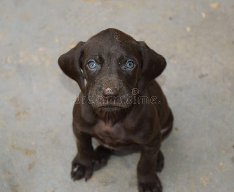 Cucciolo tedesco di marrone del puntatore dai capelli corti Animale domestico maschio fotografia stock libera da diritti