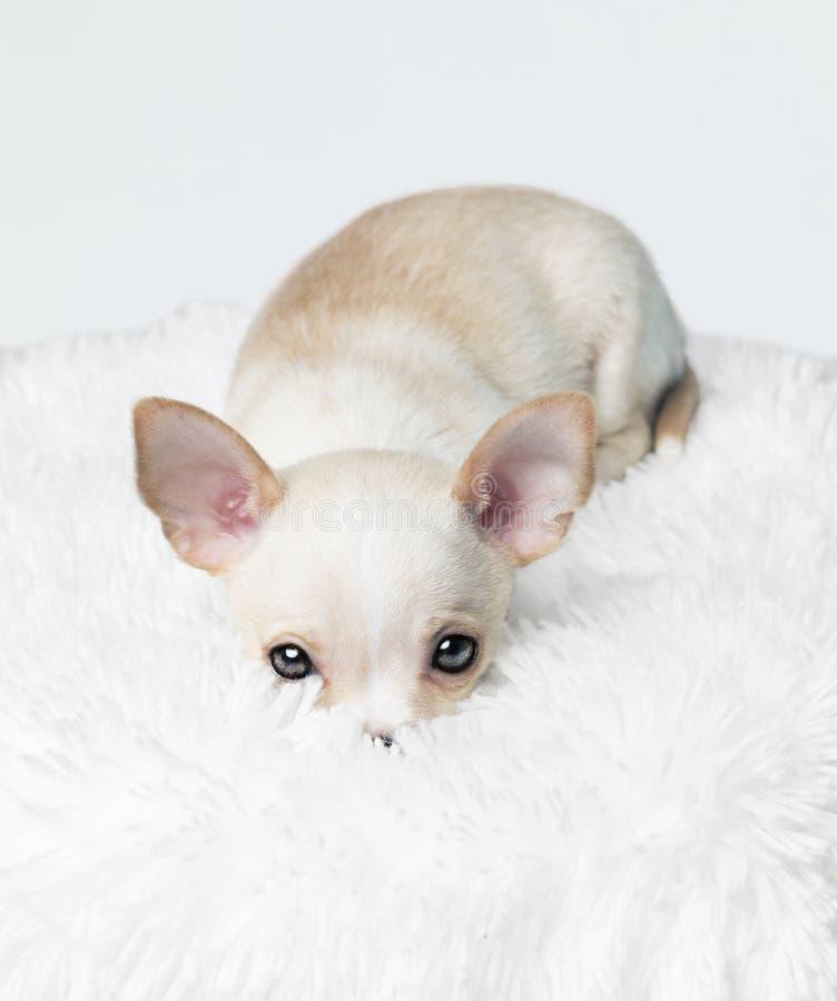 Cucciolo timido fotografie stock