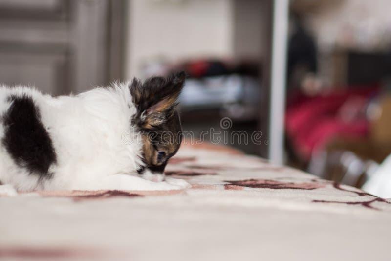 Cucciolo tricolour del papillon sveglio fotografia stock libera da diritti