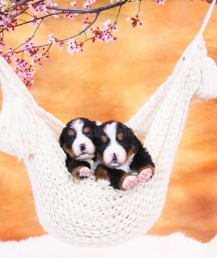 Cucciolo in un'amaca fotografia stock