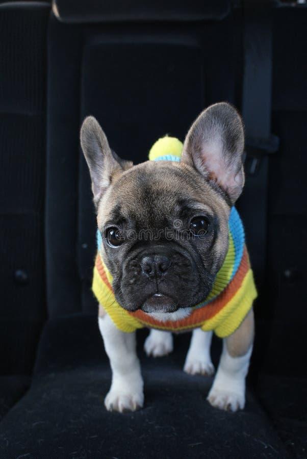 Cucciolo vestito del bulldog francese nell'automobile fotografia stock libera da diritti