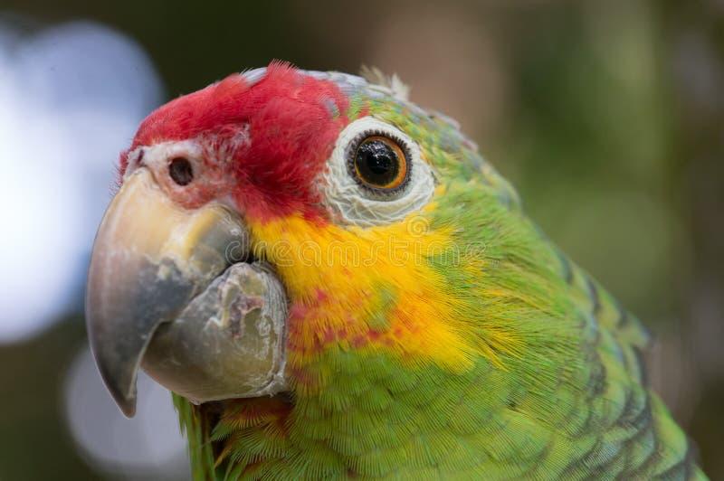 Cucha de perroquet photographie stock libre de droits