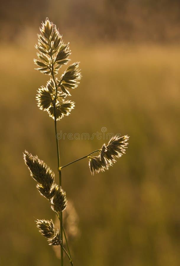 Cuchilla de la hierba en la puesta del sol imagen de archivo