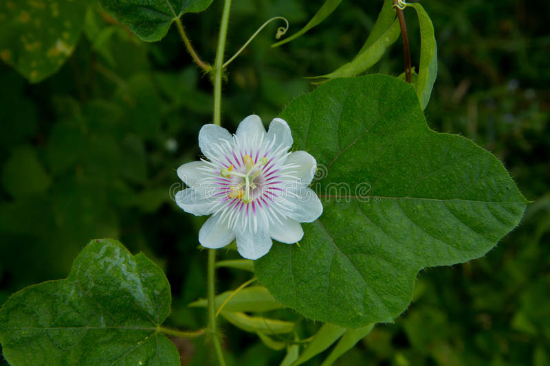 Cuchnący passionflower obrazy stock