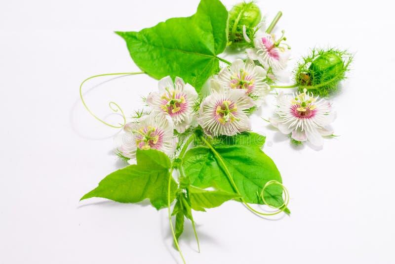 Cuchnący passionflowers na bielu obrazy stock