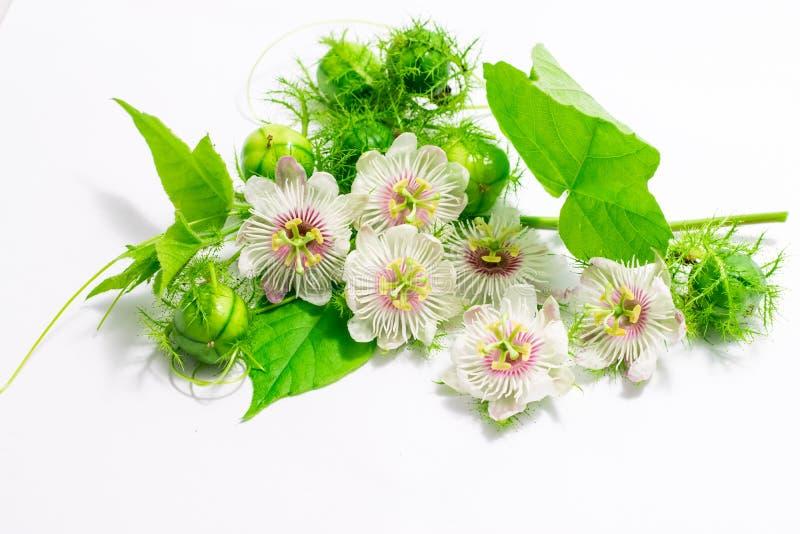 Cuchnący passionflowers na bielu obrazy royalty free