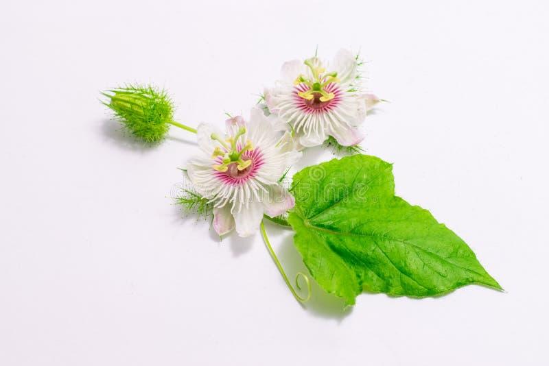 Cuchnący passionflowers na bielu zdjęcia stock