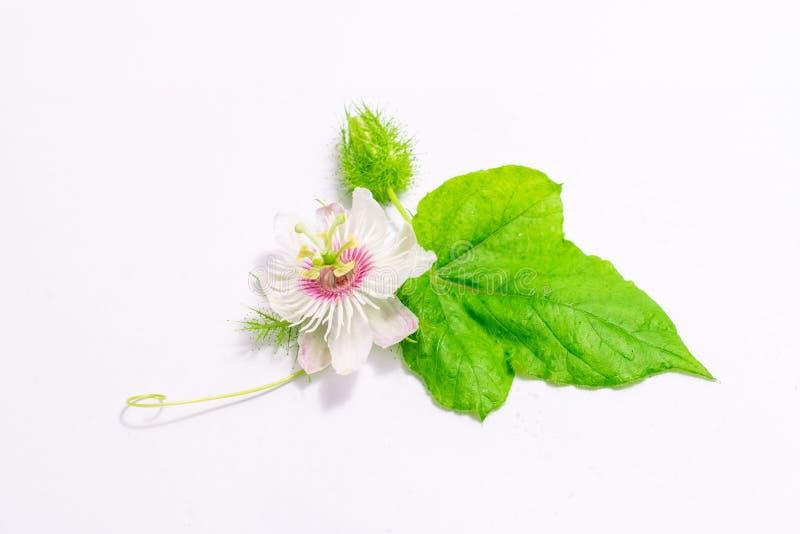 Cuchnący passionflowers na bielu zdjęcie royalty free