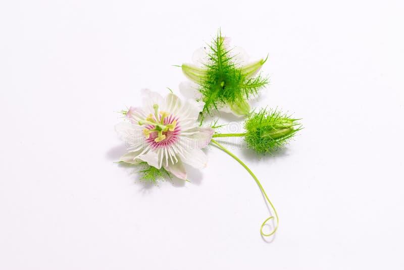 Cuchnący passionflowers na bielu obraz royalty free