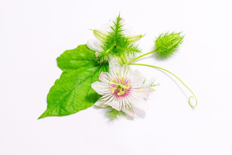 Cuchnący passionflowers na bielu obraz stock